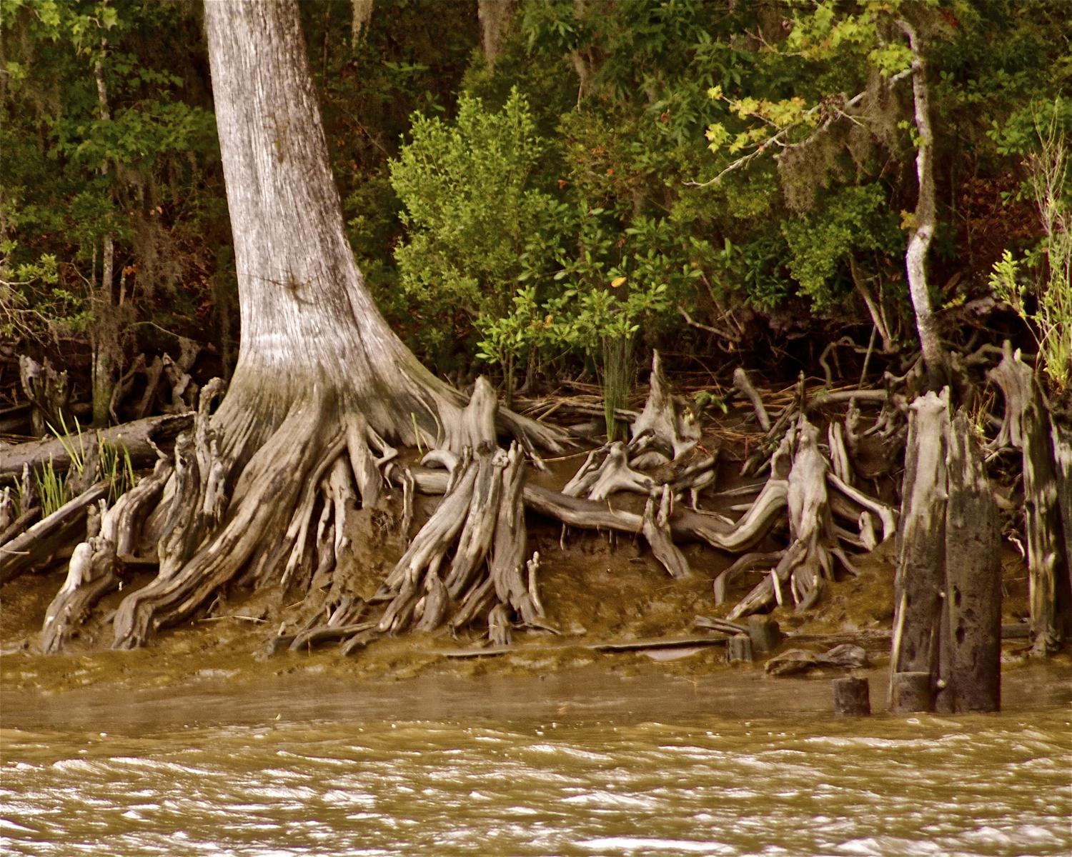 By Deborah Baird - Landscapes 2 - Satilla Cypress